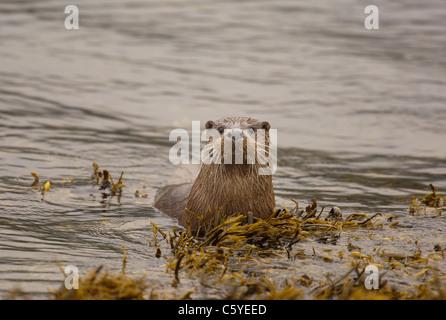 Unión nutria Lutra lutra un curioso adulto emerge del agua en una remota costa Escocesa. Isle Of Mull, Escocia, Imagen De Stock