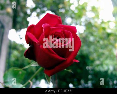 Rosa roja Imagen De Stock
