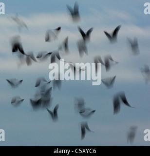 JACKDAW Corvus monedula un grupo de adultos tomar vuelo (borrosa para ilustrar los movimientos). Derbyshire, Reino Imagen De Stock