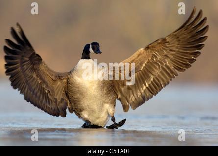 Canadá ganso Branta canadensis un ala adulta como tierras torpemente de frenado sobre un lago congelado. Nottinghamshire, Imagen De Stock