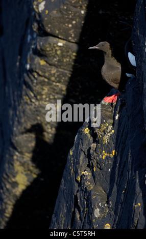 GUILLEMOT Cepphus grylle negro adulto en luz del atardecer, su sombra cayendo sobre los acantilados debajo. Shetland Imagen De Stock