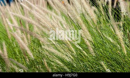 Floración la hierba durante el atardecer. Closeup shot Imagen De Stock