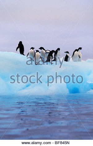 Los pingüinos Adelia en iceberg, Pygoscelis adeliae, Antártida Imagen De Stock