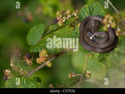 Natrix natrix culebra de un sub-adulto serpiente descansa precariamente en la cima de una zarza. De agosto. Derbyshire, Imagen De Stock