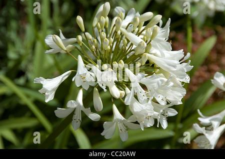 Agapanthus Silver Jubilee - flores blancas del lirio africano. Imagen De Stock