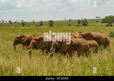 Los elefantes (Loxodonta africana) en el césped largo, Parque Nacional de Murchison Falls, Uganda Imagen De Stock