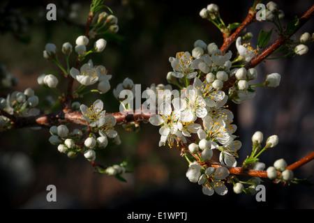 Pequeñas flores de ciruela blancas en una rama del árbol de ciruela comienza a abrir a principios de la Imagen De Stock