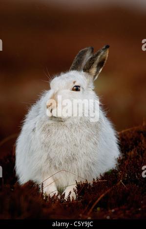 MOUNTAIN LIEBRE Lepus timidus close up retrato de una alerta adulto en su abrigo. Las Montañas Monadhliath, Imagen De Stock