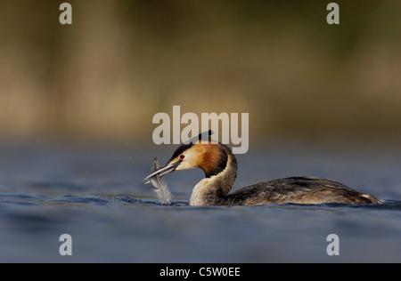 Somormujo LAVANCO Podiceps cristatus un adulto con una pluma en su factura. De marzo. Derbyshire, Reino Unido Imagen De Stock
