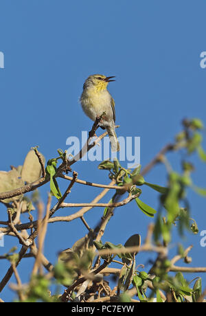 (Neomixis Subdesert Jery pallidior) adulto cantando desde la parte superior del árbol endémico de Madagascar, la tabla, Tulear, Madagascar, Noviembre Imagen De Stock