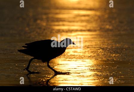 Focha Común Fulica atra un adulto en silueta sobre un lago congelado al amanecer. Febrero. Derbyshire, Reino Imagen De Stock
