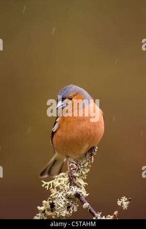 Pinzón vulgar Fringilla coelebs un macho adulto posado sobre una rama cubiertos de líquenes en la lluvia. Imagen De Stock