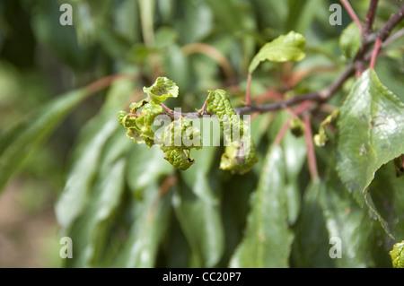 Leaf curl - pulgones daños en follaje de pera Imagen De Stock