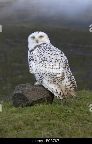 Snowy Owl (Nyctea scandiaca) macho inmaduro, encaramado sobre una roca en páramos, Peak District, Cumbria, Inglaterra, Noviembre, sujeto controlado Imagen De Stock