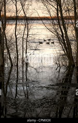 Cinco gansos canadienses, visto entre siluetas de árboles, flotar en las tranquilas aguas del río Ottawa, Imagen De Stock