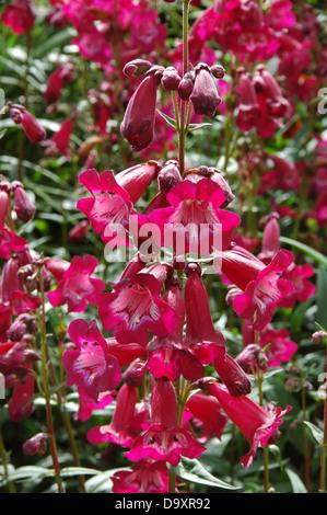 Flor roja hardy perenne Penstemon - Oporto Imagen De Stock