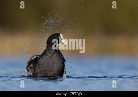 Focha Común Fulica atra un adulto, rodeado por las salpicaduras de agua, ruedas traseras como se baña. Imagen De Stock
