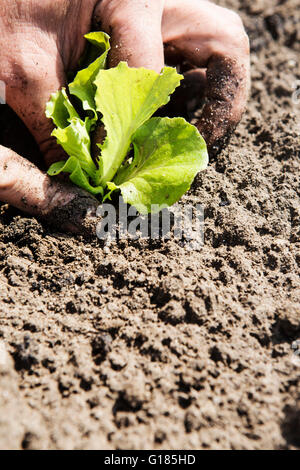 Agricultor sembrar plántulas en el suelo Imagen De Stock