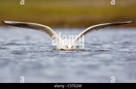 Cabeza negra Larus ridibundus Gaviota un adulto en su plumaje de invierno aterrizan en una laguna costera superficial. Imagen De Stock
