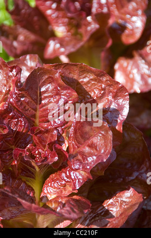 Lechuga - Lechuga Nymans púrpura variedad Imagen De Stock