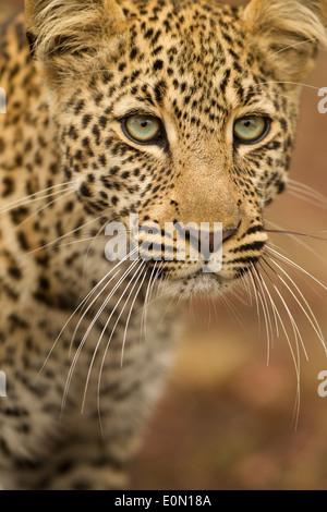 Leopardo africano vertical superior, Mara, la reserva Masai Mara, Kenia, África (Panthera pardus) Imagen De Stock