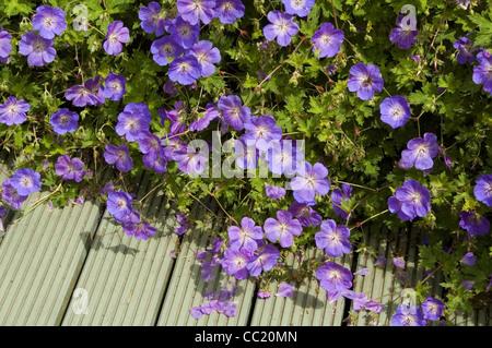 Geranium Jolly Bee - Hardy Geranium perenne Imagen De Stock