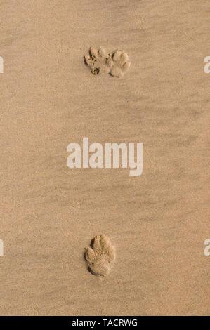 SSK - 35285 Resumen en forma de footmarks de un perro un animal doméstico en la textura de la arena de una playa Ganpatipule Maharashtra India Asia el 27 de septiembre de 2014 Imagen De Stock