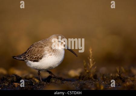 Playerito Vientre Negro Calidris alpina un adulto se mueve a lo largo de los márgenes de una laguna costera Imagen De Stock