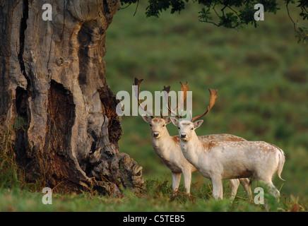 Gamo Dama dama un par de ciervos blancos permanezcan juntos cerca de la base de un antiguo árbol. Leicestershire, Imagen De Stock