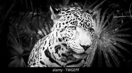 Hermoso gato jaguar (Panthera onca) en estrecha en impresionante blanco y negro Imagen De Stock