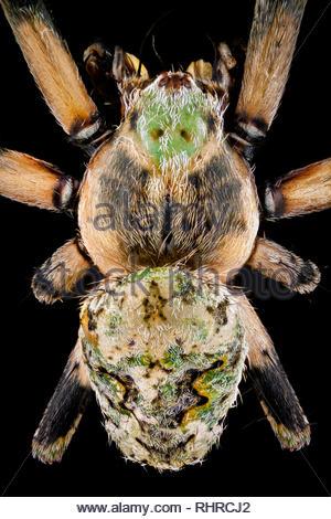 Vista superior de una araña orbweaver Imagen De Stock