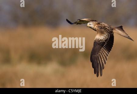 RED KITE Milvus milvus adulto sobrevolando abrir campos y prados. De marzo. Mid Wales, REINO UNIDO Imagen De Stock