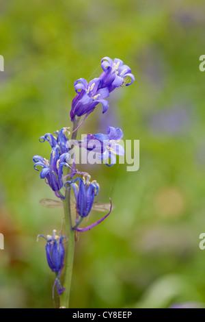 Las campánulas azules en Portglenone Forest Park en el condado de Antrim, Irlanda del Norte. Imagen De Stock