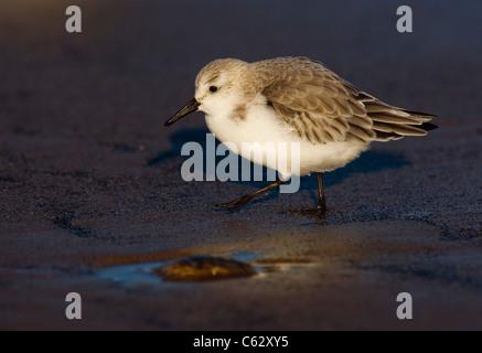 SANDERLING Calidris alba un adulto forrajeando a lo largo de la playa de luz del atardecer dorado Lincolnshire, Imagen De Stock