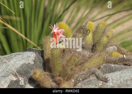 Cactus florece en el jardín de la Misión de Santa Bárbara, Santa Barbara, CA. Fotografía Digital. Imagen De Stock