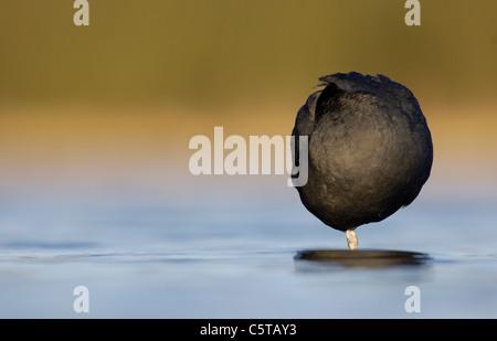 Focha Común Fulica atra un adulto forma un círculo casi perfecto que se posa sobre una pierna al amanecer. Imagen De Stock
