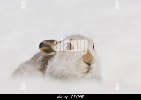 MOUNTAIN LIEBRE Lepus timidus retrato de un adulto en su hábitat cubiertos de nieve Montañas Monadhliath, Imagen De Stock