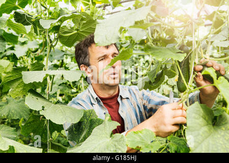 Agricultor cosechar pepinos en granja orgánica Imagen De Stock