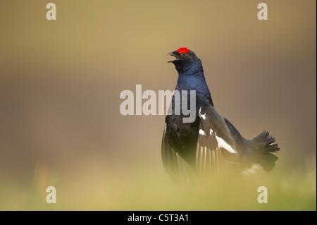 Tetrao tetrix urogallo negro un macho adulto de saltos en el aire y llama como se muestra en un páramo abierto Imagen De Stock