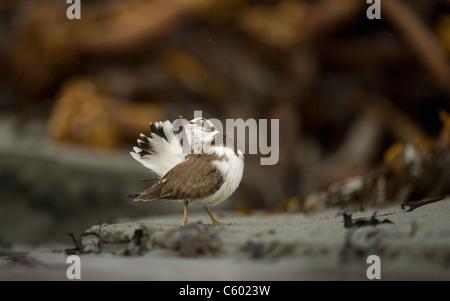 Callonetta patinegro Charadrius hiaticula un adulto es su acicalarse las plumas de la cola en una playa. Islas Shetland, Imagen De Stock