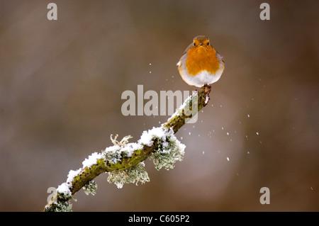Petirrojo Erithacus rubecula retrato de un adulto posado sobre una rama cubierto de nieve. Febrero. Mid Wales, REINO Imagen De Stock