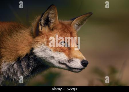 Zorro Rojo Vulpes vulpes Perfil de un adulto fox observando algunas aves cercanas Lancashire, UK Imagen De Stock