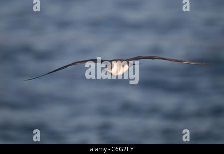 Arctic skúas Stercorarius parasiticus una pálida morph en vuelo. Julio. Las Islas Shetland, Escocia, el Imagen De Stock