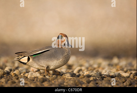 Anas crecca Perfil de un macho adulto en una plaqueta costa. Norfolk, Reino Unido. Fotógrafo.Andrew Parkinson Imagen De Stock