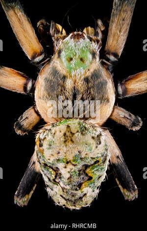 Macro extrema - Vista superior de una araña orbweaver magnificada 4 veces Imagen De Stock