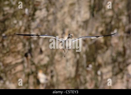 Norte de Gannett Morus bassanus un adulto se desliza sin esfuerzo a lo largo de la parte delantera de la cara de Imagen De Stock