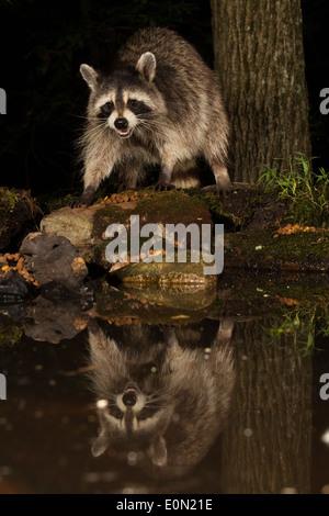 Raccoon alimentando a lo largo de un estanque, Pennsylvania, Estados Unidos (Procyon lotor) Imagen De Stock