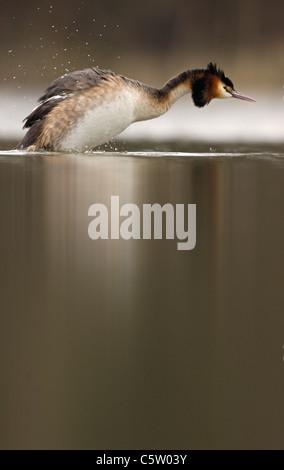 Somormujo LAVANCO Podiceps cristatus un adulto sacude sí seca después de bañarse. De marzo. Derbyshire, Imagen De Stock
