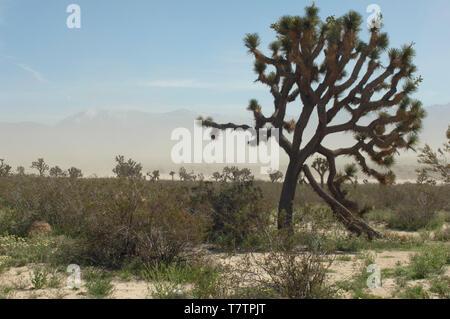 Joshua Tree en el desierto Mohave ecosistema de Big Rock Creek Wildlife Sanctuary, California. Fotografía Digital. Imagen De Stock