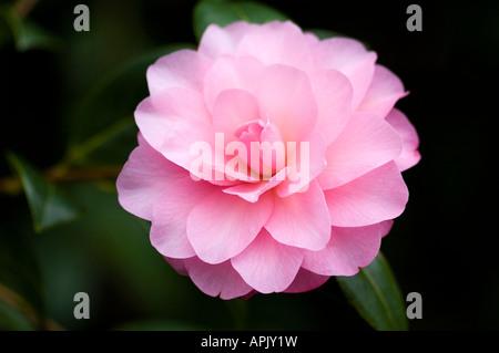 Jardín de flores de invierno arbusto perenne con delicadas flores rosas Imagen De Stock